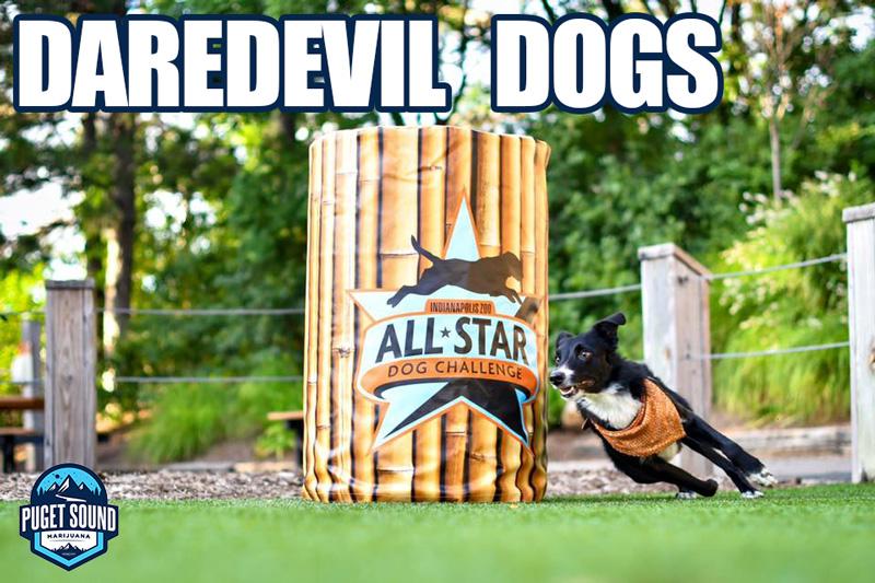 daredevil dogs puget sound marijuana mukilteo lynnwood
